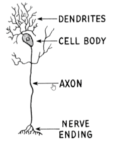 Dendrites and your brain